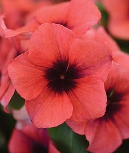 Vinca Tattoo Papaya Annual Flowers Flower Seeds Flowers