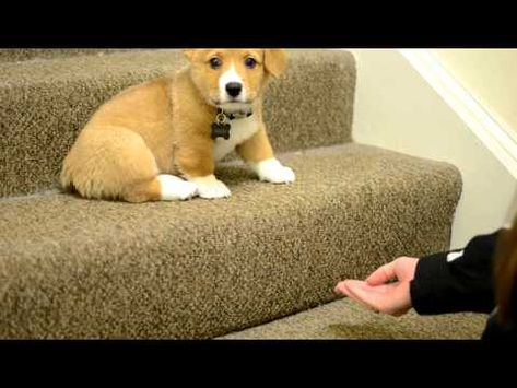 Practicing stairs with corgi puppy