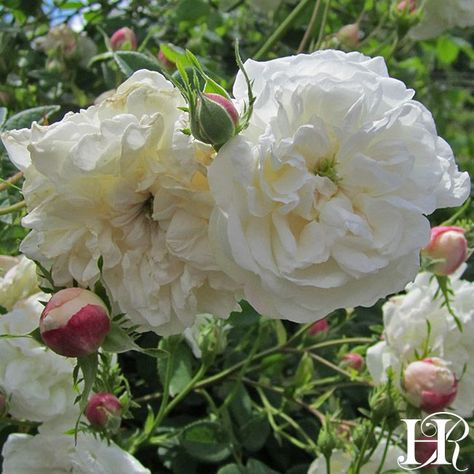 Mme Plantier Rose - Albas - Exceptionally Fragrant  Purchased 7/2019 .