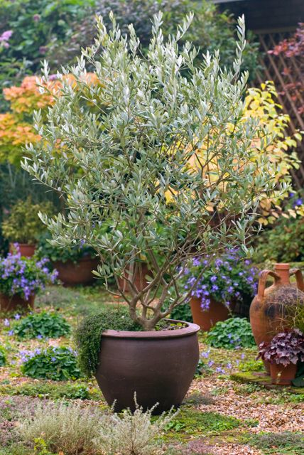 Majestic Beauty Fruitless Olive An Attractive Refined Appearance To The Upright Open Crown Of This Superior Evergreen Patio Patio Trees Potted Trees Plants