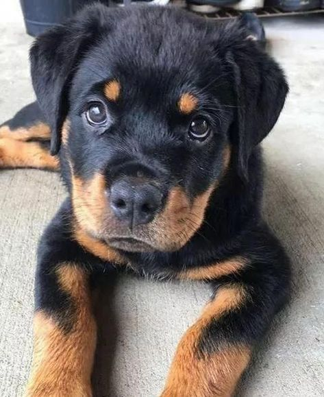 Rottweiler puppies sure are cute! These loving and loyal goofballs can make great pets. Thinking about bringing a Rottweiler puppy into your home? Here are a few things to know about these pups before you adopt. Cute Dogs And Puppies, I Love Dogs, Pet Dogs, Dog Cat, Pets, Doggies, Cutest Dogs, Rottweiler Dog, West Highland Terrier