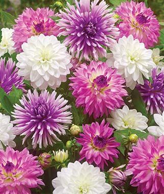 Dahlia Sunday Brunch Collection Flower Seeds Bulb Flowers Shade Flowers