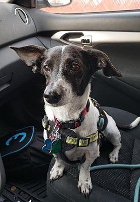 Minneapolis Mn Dachshund Meet Lynnie A Pet For Adoption Dachshund Adoption Pet Adoption Pets
