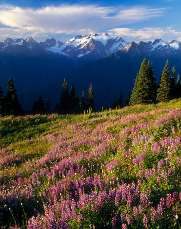 Field of lupine, Mount Olympus and clouds at sunrise, High DividePhoto ...