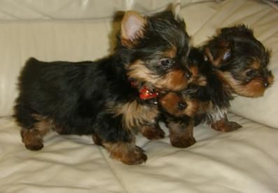 Have Updated Shots And Paperwork For Re Homing Teacup Yorkie Puppy Yorkie Puppy Yorkie Puppy For Sale