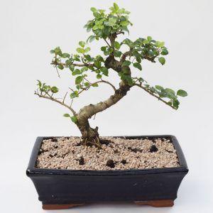 Chinese Privet Bonsai Also Known As Ligustrum Sinense And Lingustrum Lucidum Bonsai Bonsai Tree Plants