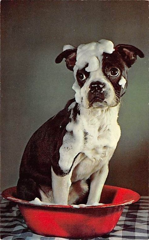 Boston Terrier In Red Enamel Pan Saturday Night Bath 1950s