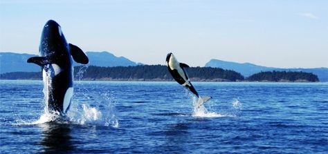 Washington The San Juan Islands  Go island-hopping—and keep an eye out for orcas, In the northwest corner of W...