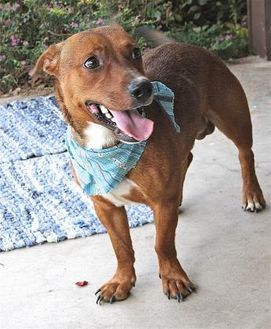 Pictures Of Gerry A Dachshund For Adoption In Beaumont Tx Who