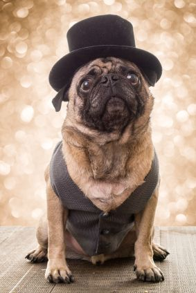 Buying Guides Dog Wear Pugs Dog Friends