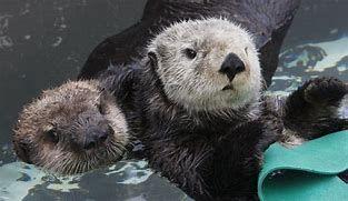 Rescued Sea Otter Pups Bing Images Monterey Bay Aquarium Sea Otter California Vacation