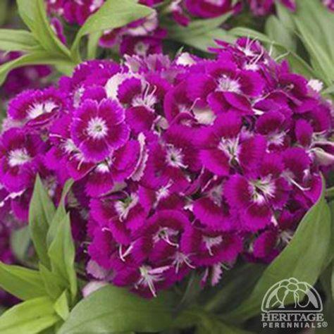 Dianthus Barbatus Barbarini Purple Dianthus Barbatus Sweet William Flowers Plants