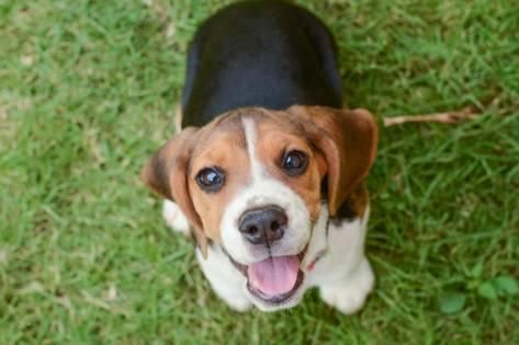 Photographic Print Beagle Puppy Sitting On Green Grass By