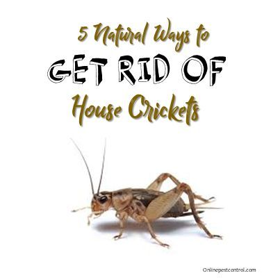 How To Get Rid Of Camel Crickets In My Basement