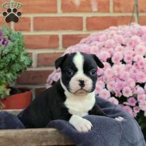 Debbie Frenchton Puppy For Sale In Pennsylvania Puppies