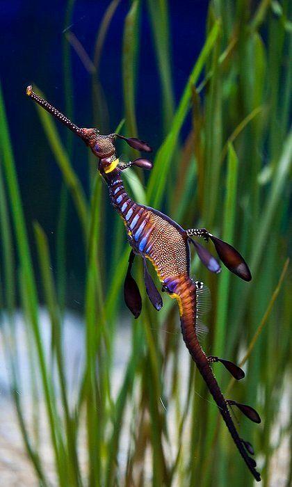 Seahorse @ The Monterey Bay Aquarium : sea dragon : I absolutely love this creature! Monterey Bay Aquarium, Aquarium Marin, Underwater Creatures, Underwater Life, Ocean Creatures, Underwater Photos, Underwater Photography, Film Photography, Street Photography