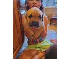 2 Female Cane Corso Puppies Need Good Loving Homes The Have Docked Tails Removed Dew Claws And Dewormed In The First R With Images Cane Corso Puppies Cane Corso Puppies