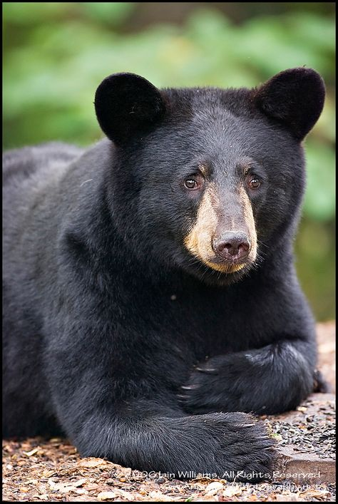 Black Bear ~ West Virginia State Animal  Maybe that's another reason I like VA??