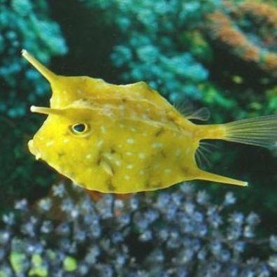 Longhorn Cowfish Live Tropical Fish For Sale In 2020 Cow Fish Saltwater Aquarium Fish Saltwater Fish Tanks