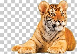 Tiger Png Images Tiger Clipart Free Download Png Psd Texture Tiger