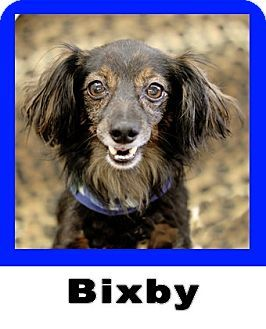 Plano Tx Dachshund Meet Bixby A Pet For Adoption Dogs Pet