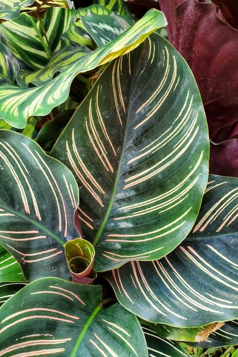 Calathea ornata~Pink Stripe Prayer Live Plant !!! USA SELLER ... on