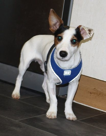 Benny Reserved Dog Rescue Adoption Fostering In London Kent Hampshire Pro Dogs Direct Dog Adoption Rescue Dogs Terrier