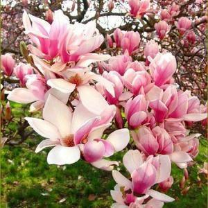 5 Alexandra Magnolia Seeds Lily Flower Tree Fragrant Flowers Tulip 597 Us Seller In 2021 Flowering Trees Magnolia Trees Magnolia Flower