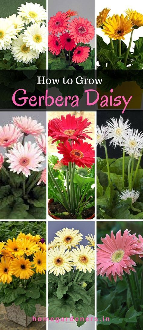It S Fun To Grow And Enjoy Gerbera Daisy Plants In Your Garden Space Starting From Seeds Cuttings That Spr Gerbera Plant Flower Garden Care Gerbera Daisy Seeds