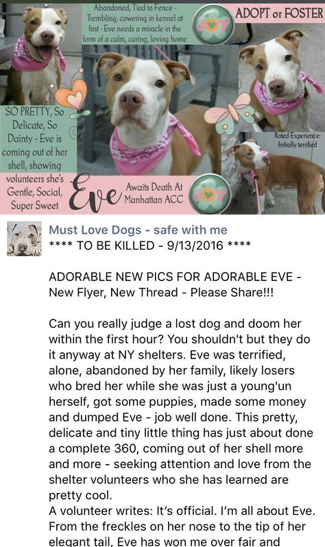 SAFE❤️❤️ 9/13/16 BY LOOKING GLASS ANIMAL RESCUE❤️❤️ THANK YOU❤️❤️ Manhattan Center EVE – A1088674 FEMALE, BROWN / WHITE, PIT BULL MIX, 1 yr STRAY – EVALUATE, NO HOLD Reason STRAY Intake condition UNSPECIFIE Intake Date 09/06/2016 http://nycdogs.urgentpodr.org/eve-a1088674/