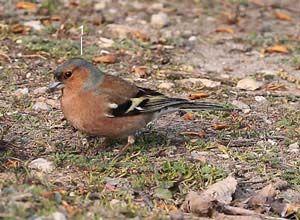 Identifier Les Oiseaux Des Jardins Et Des Villes D Europe En Hiver Ornithomedia Com Oiseaux Des Jardins Identifier Les Oiseaux Oiseaux