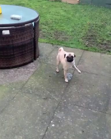 This Dog Lifts The Wrong Leg When Peeing Dogs Dog Fails Cute