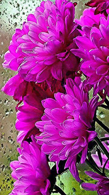 609 Likes 16 Comments Colorlicious Hibiscus Gardens Colorlicioushibiscus On Instagram Bohemian Rhapsody Exotichibisc Hibiscus Garden Gumamela