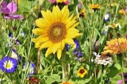 Gambar Bunga Matahari Dan Cara Menggambar Bunga Matahari Sketsa Dan Lukisan Menggunakan Pensil Kuas Atau Komputer Di 2020 Bunga Matahari Bunga Cara Menggambar
