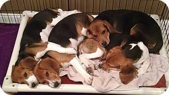 Yardley Pa Beagle Meet Eggnog A Puppy For Adoption Beagle