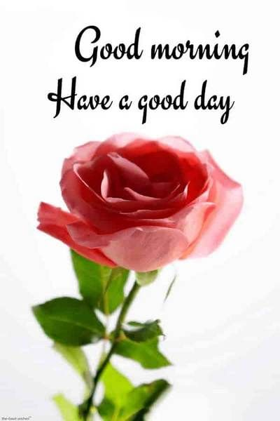 15 Amazing Good Morning Rose Images Download Good Morning Flower Images And Quotes Free Dow In 2020 Good Morning Flowers Good Morning Rose Images Good Morning Images