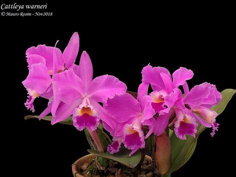 Cattleya Warneri Cattleya
