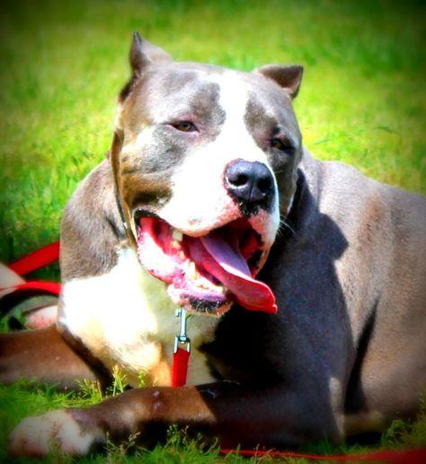 Adopt Rambo On Pitbulls Pitbull Terrier Bull Terrier Mix