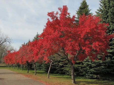 Amur Maple Acer Ginnala Growing Zones 3 8 15 25 Ft Tall And Wide In 2020 Maple Tree Landscape Street Trees Landscape Trees