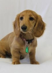 Adopt Penny On Dachshund Dog Dogs Animal Rescue