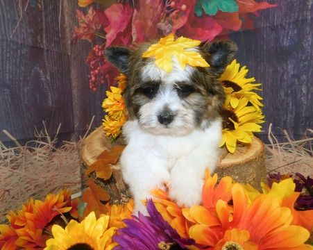Shorkie Tzu Puppy For Sale In Hammond In Usa Adn 96214 On Puppyfinder Com Gender Male Age 8 Weeks Old Nickn With Images Puppies For Sale Puppies Mixed Breed Puppies