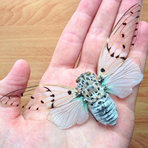 Tosena depicta Cicada REAL Insect A