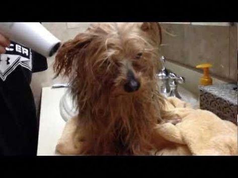 Yorkshire Terrier Frisuren Yorkshireterrierfrisuren Yorkshire