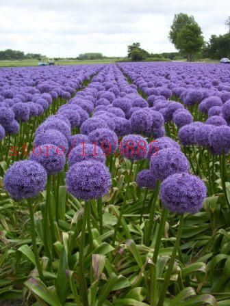100 Pcs Giant Allium Giganteum Beautiful Flower Seeds Garden Plant The Rare Flower Seeds For Flower Pot Planters Allium Flowers Purple Garden Purple Flowers