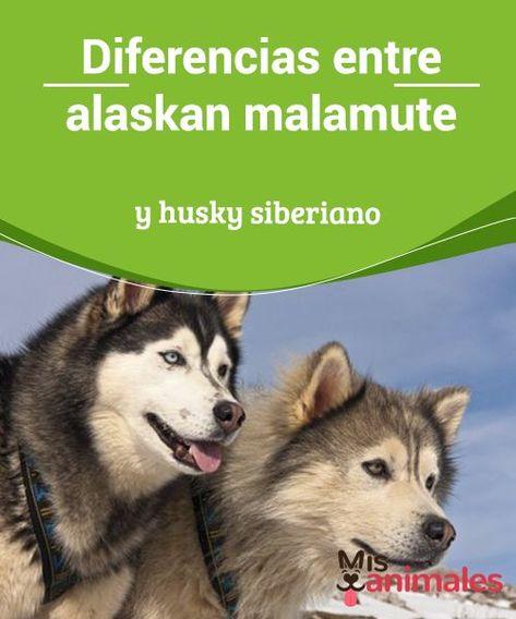 Diferencias Entre Alaskan Malamute Y Husky Siberiano Malamute