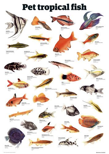 Pet Tropical Fish Art Print By Guardian Wallchart Easyart Com Tropical Fish Art Tropical Fish Fish Art