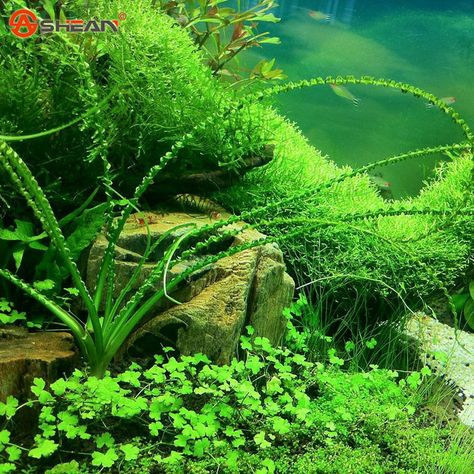 Aeproduct Getsubject Pic Also With Seeds Listing I M A Sucker For Rummy Noses And Crystal Shrimp With Images Aquatic Plant Seeds Aquarium Grass Aquatic Plants