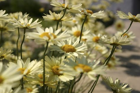 Fiori Gialli Scozia.10 Piante Di Lunga Fioritura Premiatevi Con Il Colore Piante