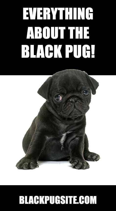 A Look At The Black Pug Dog Is It The Right Breed For You