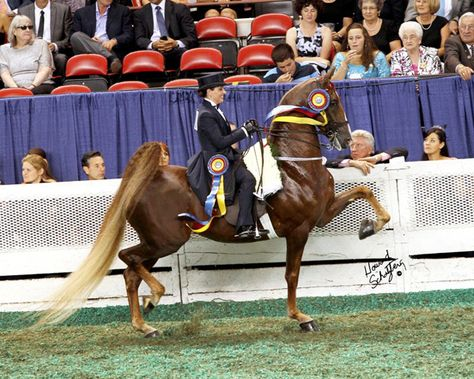 WCC Call Me Regal...American Saddlebred